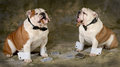 Poker game two bulldogs playing a serious of Royalty Free Stock Photos