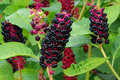 Pokeweed Royalty Free Stock Photography