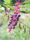 Pokeweed Stock Photo