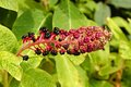 Pokeweed Royalty Free Stock Photo