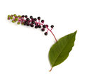 Pokeweed common fruit and leaf phytolacca americana on a white background Royalty Free Stock Images