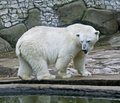 Polar bear 10 Stock Images