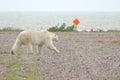 Polar Bear on the airfield Royalty Free Stock Photo