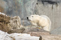 Polar bear behind a rock Stock Photography