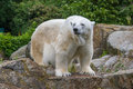 Polar bear in berlin zoo the is walking Royalty Free Stock Image