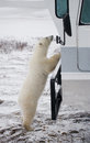 The polar bear came very close to a special car for the Arctic safari. Canada. Churchill National Park. Royalty Free Stock Photo
