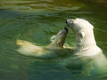 Polar bear with a cub swimming toward his mother Stock Images