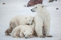 Polar she bear with cubs a polar she bear with two small bear cubs on the snow ursus maritimus Royalty Free Stock Photo