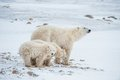 Polar she bear with cubs a polar she bear with two small bear cubs on the snow ursus maritimus Royalty Free Stock Photos