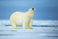 Polar bear, dangerous looking beast on the ice with snow in north Russia Royalty Free Stock Photo