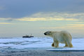 Polar bear on the drift ice with snow, blurred cruise vessel in background, Svalbard, Norway Royalty Free Stock Photo