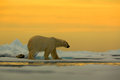 Polar bear on the drift ice with snow, with evening yellow sun, Svalbard, Norway Royalty Free Stock Photo