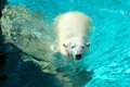 A polar bear exiting the cold water on a sunny day Stock Photo
