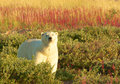 Polar bear and fire weed standing in the colorful tundra full of at sunset in manitoba canada Royalty Free Stock Photography