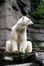 Polar bear gaping Stock Images
