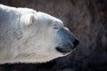 Polar Bear Head Shot in Profile Royalty Free Stock Photo