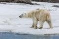 The polar bear walks along the ice sheet near the water Royalty Free Stock Photo