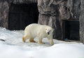 Polar bear in japan zoo a Royalty Free Stock Image