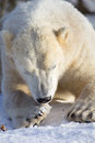 Polar Bear lying down to eat Royalty Free Stock Image