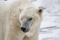 Polar bear a mature ponders taking a dip in the frigid waters of his nearby waterhole Royalty Free Stock Images