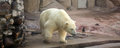 A polar bear at moscow zoo in russia Stock Images