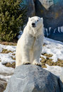 Polar bear on a rock Royalty Free Stock Images