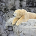 Polar bear on rock platform resting a in a synthetic arctic zoo environment the at the shores in sea world gold coast Stock Image