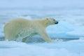 Polar Bear Running On The Ice ...