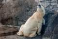 Polar bear scratching its belly on a wall having pleasure rubbing Stock Photography