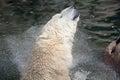 Polar Bear Shakes His Head Royalty Free Stock Photo