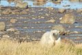 Polar bear at the shore canadian walking in colorful arctic tundra of hudson bay near churchill manitoba in summer Royalty Free Stock Photos