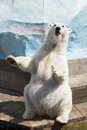 Polar bear sitting on its hind legs Royalty Free Stock Photo
