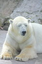 Polar bear sitting on a rock sunny day Royalty Free Stock Photography