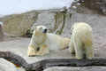Polar bear sitting on a rock sunny day Royalty Free Stock Image