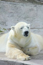 Polar bear sitting on a rock sunny day Stock Image