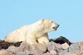 Polar bear sniffing the air lazy canadian wallowing stretching and sleeping on some rocks next to arctic tundra of hudson bay near Stock Images
