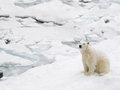 Polar bear on snowy day beautiful the ice pack a Royalty Free Stock Photography