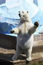 Polar bear standing on its hind legs dancing Royalty Free Stock Photos