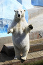 Polar bear standing on its hind legs dancing Royalty Free Stock Photo