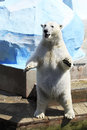 Polar bear standing on its hind legs dancing Stock Image