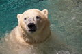 Polar bear at a theme park Stock Image