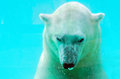 Polar bear under water in a zoological park Royalty Free Stock Photos
