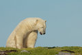 Polar bear waking up lazy canadian on a grass patch in the arctic tundra of the hudson bay near churchill manitoba in summer Stock Images