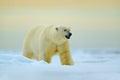 Polar bear walking on drift ice with snow. White animal in the nature habitat, Russia. Dangerous polar bear in the cold sea. Polar Royalty Free Stock Photo