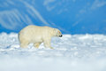 Polar bear walking on the ice. Polar bear, dangerous looking beast on the ice with snow in north Canada. Wildlife scene from natur Royalty Free Stock Photo