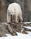 Polar bear walking on rocks Stock Photo