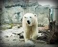 Polar bear is walking in zoo Stock Photos