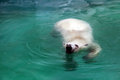 Polar bear in water Stock Photography