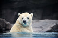 Polar bear in the water Stock Photos