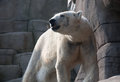 Polar bear in the zoo dirty white standing on stone rocks background Royalty Free Stock Photos